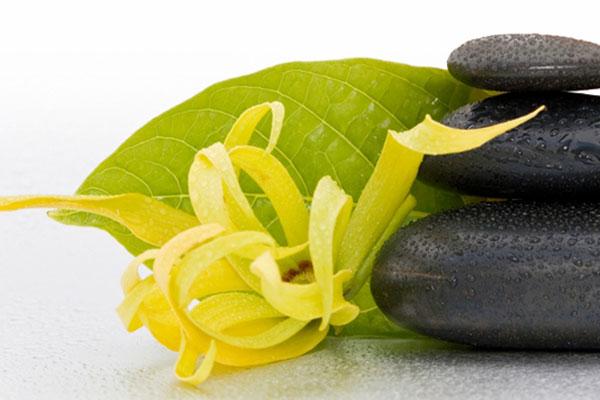 Fiori Ylang Ylang.Ylang Ylang Essential Oil Uses And Properties Albrigi Inherba
